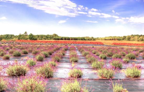 One of several Island Lavender Company Lavender Fields - Picture ...