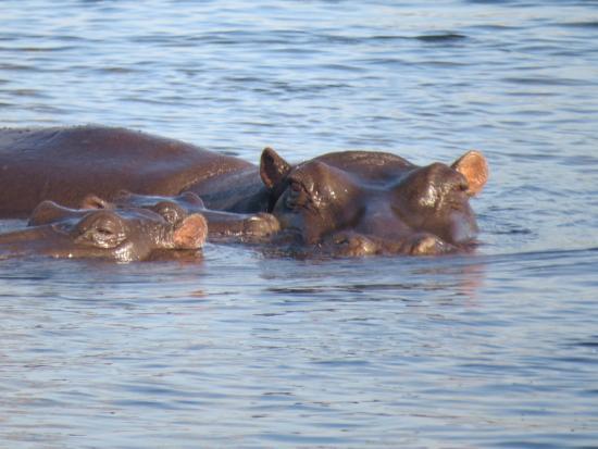 Zambezi River : Hippos