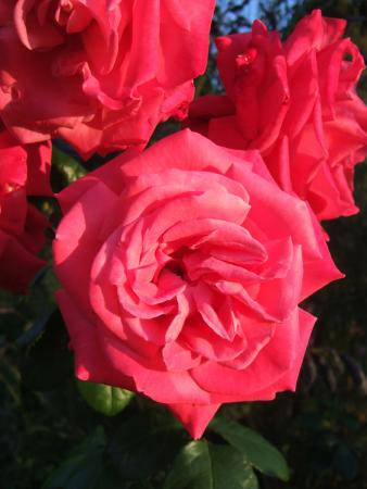 The Old Vicarage: Roses growing in Erwood