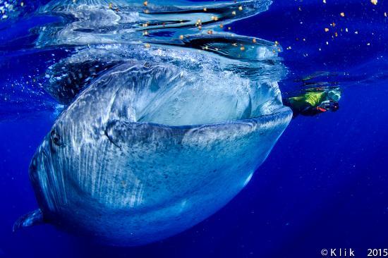 PepeDiveCenter: Salida al Tiburón Ballena, con Pepe es diferente a cualquier otro operador.