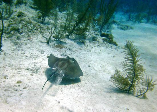 Little Cayman Beach Resort: Sting rays