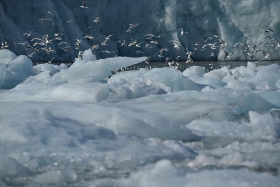Flisa, النرويج: Gulls clustered near the glaciers for easy food findings