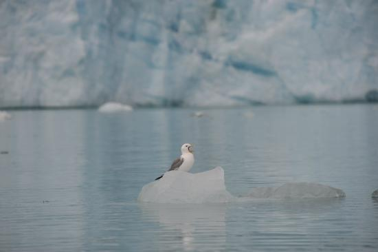 Asnes Municipality, Norway: Gull sitting on icebergs are very common in the Arctic