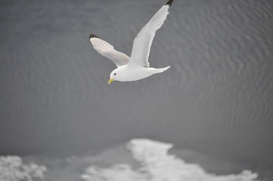 Asnes Municipality, Norway: Gloucous Gull flying in sky