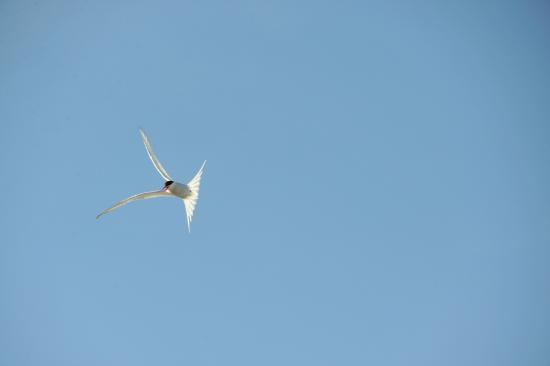 Asnes Municipality, Norway: Arctic tern circling above intruders