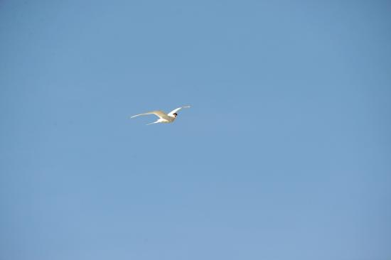 Asnes Municipality, Norway: Arctic tern shouting at intruders