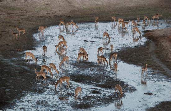 Camping Sites at Mana Pools National Park: Impala drinking