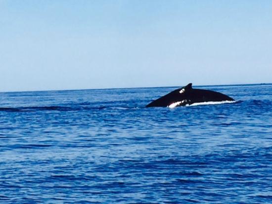 Mingan Island Cetacean Study Research Station : baleine a bosse