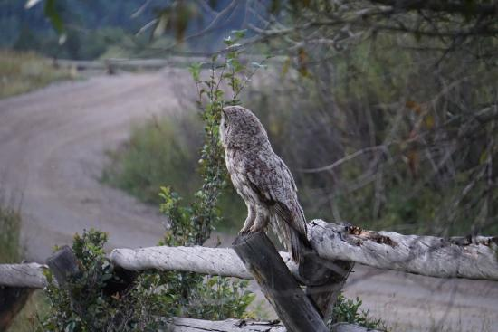 R Lazy S Ranch: Hootie the Owl