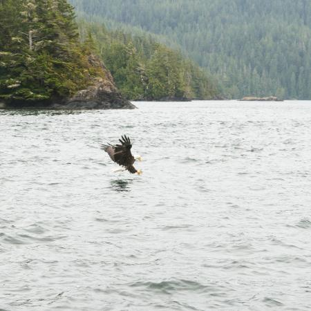 Clayoquot Sound, Canada: Eagle fishing
