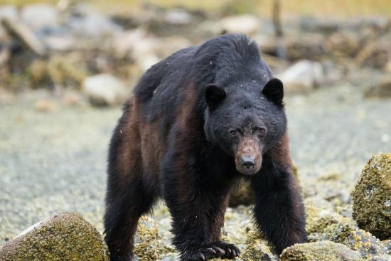 Clayoquot Sound, كندا: Black bear