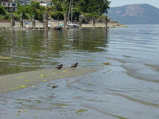 Mill Bay, Canada: birds on beach