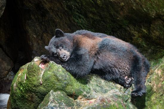 Black Bear In A Food Coma Ate 5 Huge Salmon Picture Of Spirit