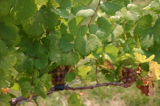 Prosser Vintner s Village: Grapes on display