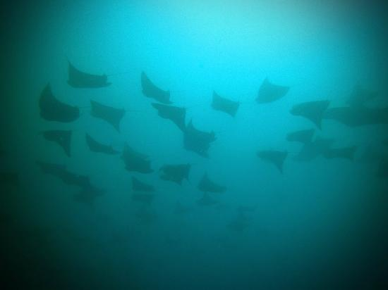 Tweed Sea Sports: Eagle Rays @ Nine Mile Reef