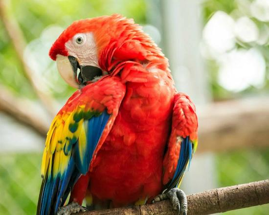 Gaia Hotel & Reserve: 24 scarlet macaws are flying free in the skies of Manuel Antonio thanks to the reintroduction pl