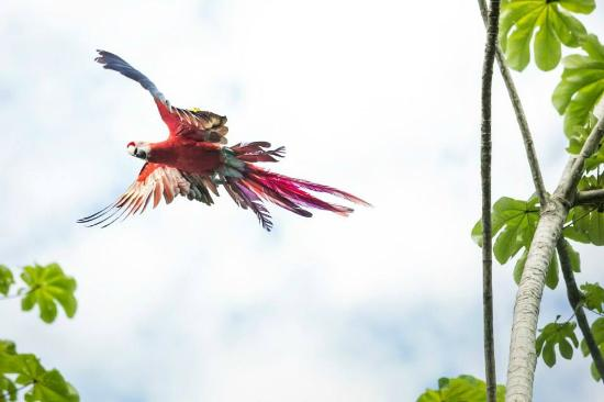 Gaia Hotel & Reserve: Scarlet Macaw