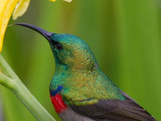 Discovery Tours - Day Tours : Souther Double-collared Sunbird in Kirstenbosch Gardens