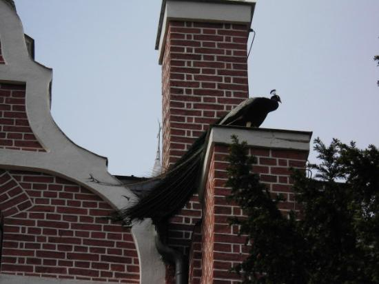 Gotisches Haus: Ein Pfau hat sich Ecker des Gotischen Hauses als Landeplatz ausgesucht