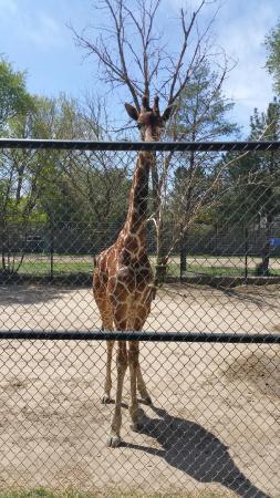 Giraffe exhibit picture of lee richardson zoo garden Garden city zoo
