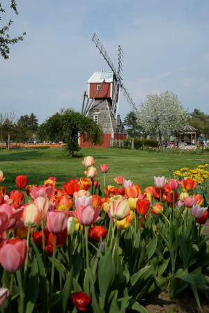 Veldheer Tulip Garden: The tulips are in gardens and fields for you to explore and a bonus windmill