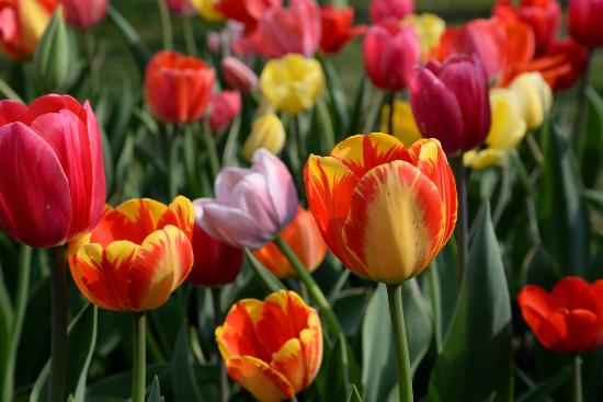 Veldheer Tulip Garden: A close view of beautiful tulip colors in the gardens.