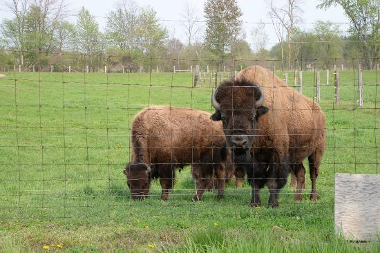 Veldheer Tulip Garden: Ha,ha, the bison came closer for their environmental portraits
