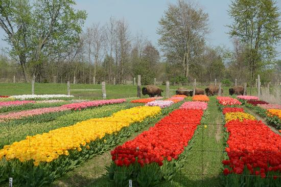 Veldheer Tulip Garden: A wide shot with some clustered colors, note the bison in the background