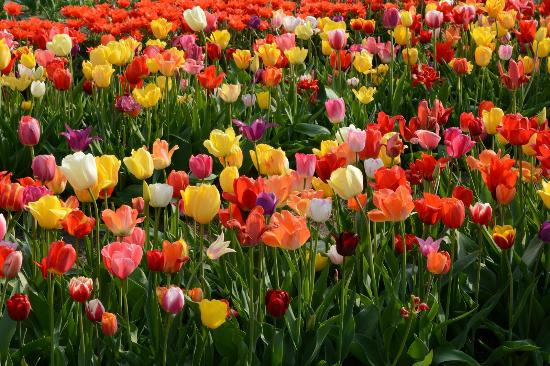 Veldheer Tulip Garden: An explosion of colorful tulips, what's not to love?