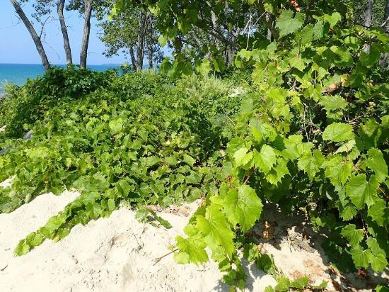 Picton, Canada: Grape vines growing on the sand dunes