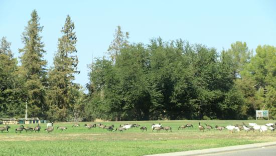 Woodward Regional Park: Geese in the Park