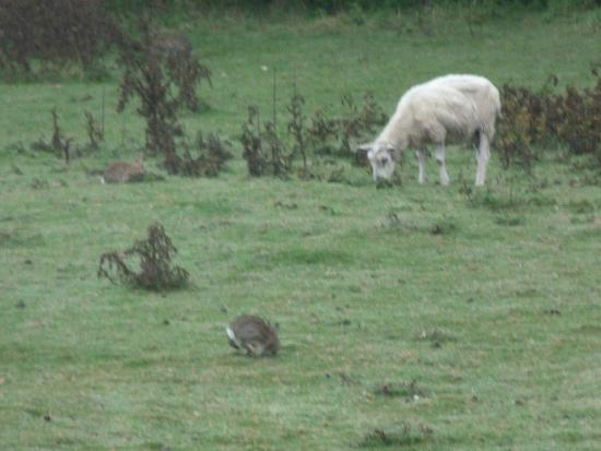 The Lodge at Winchelsea: shheop and rabbits at the lodge winchelsea