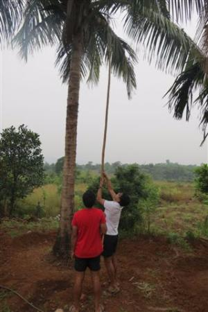 Kittu's Farm & Resort: Coconut Plucking