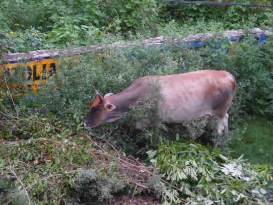 Art Inn Jaipur: A gorgeous cow across the street