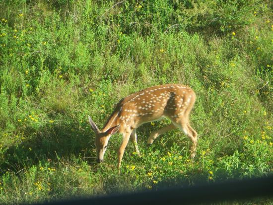 Another World Bed and Breakfast: A fawn in the backyard