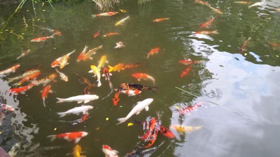 Koi pond picture of angkor palace resort spa siem for Koi pond media