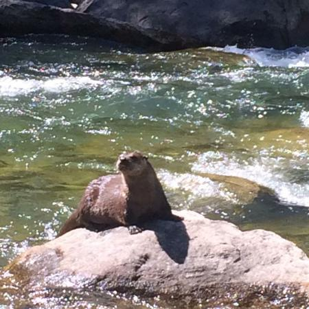 Kelly, WY: river otter