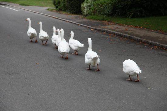 Sedlescombe, UK: Not so wild geese