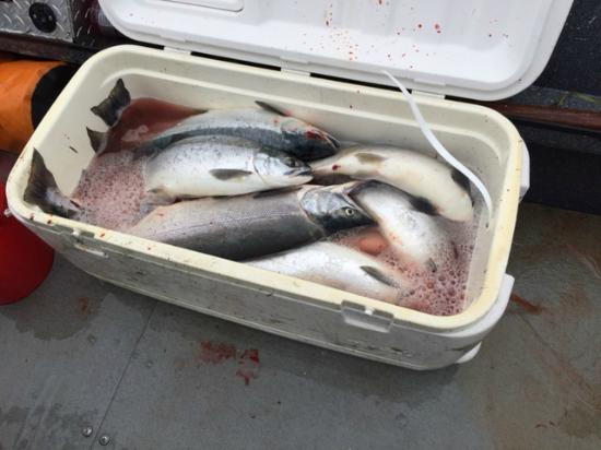 Kenai, AK: Cooler of fresh red salmon