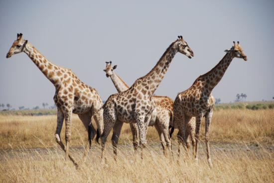 Wilderness Safaris DumaTau Camp : photo2.jpg