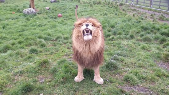 Pouakai Zoo : Aslan reminds everyone that as boss, he gets the first food at feeding time