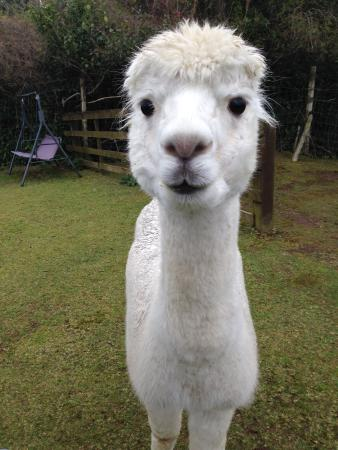 Pouakai Zoo : An Alpaca takes out the mortgage on cuteness