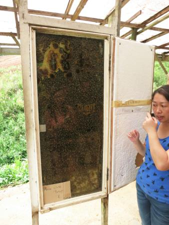 Ringlet, Malaysia: Brief Intro to the Bees