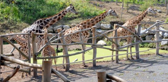 Pairi Daiza: Girafes et girafons