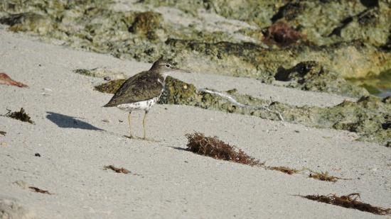 Bayahíbe, República Dominicana: avifauna sulla spiaggia del parco