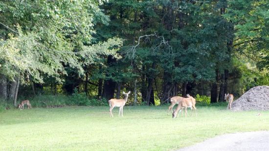 Winchester, TN: deers