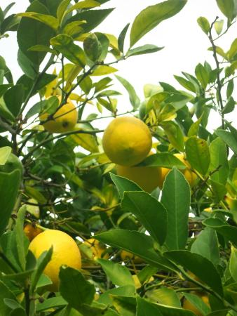 Elizabeth F. Gamble Garden: lemons