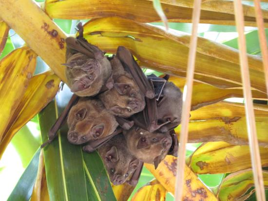 Turneffe Island, Belize: Bats along Nature Trail