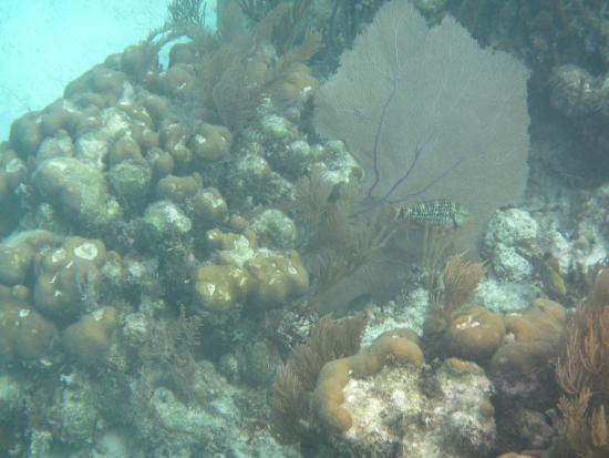 Turneffe Island, Belice: Parrot Fish and Fan Coral