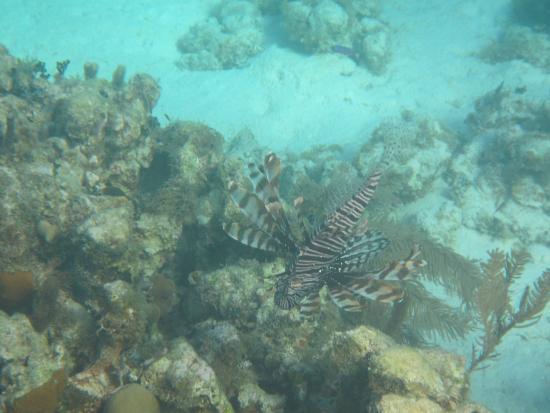 Turneffe Flats: Lion Fish